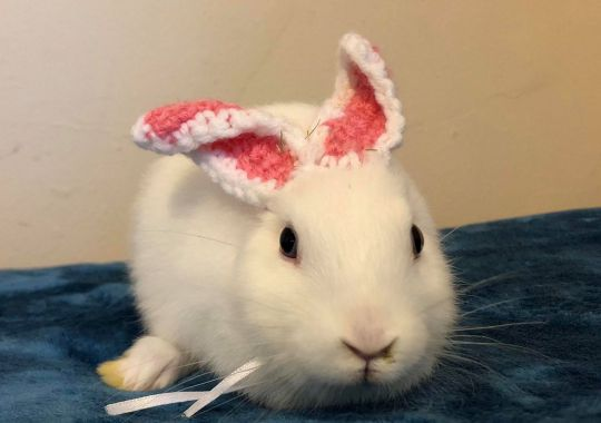 Mimi the rabbit with knitted replacement ears. Source: Metro.co.uk & Kennedy News and Media